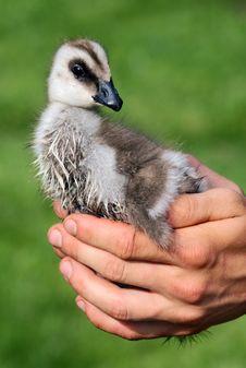 Free Magellan Goose Stock Photography - 13793862