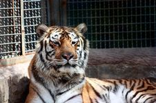 Free Tiger In The Zoo Stock Photography - 13794452