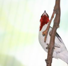 Free Pope Cardinal Bird Stock Image - 13794701