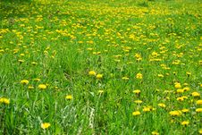 Free Yellow Dandelion Stock Photo - 13794950