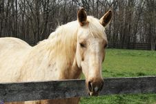 Free Blond Horse Royalty Free Stock Image - 13795826