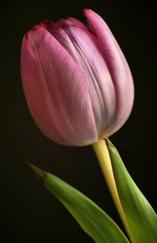 Free Pink Tulip On Black Background Stock Photography - 13796472