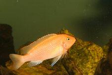 Free Red Cichlid In Aquarium Stock Images - 13796494
