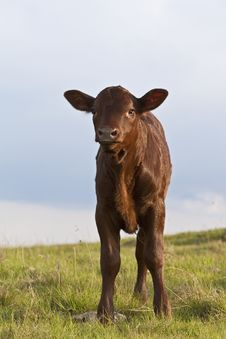 Free Cattle Calf Stock Photography - 13796562