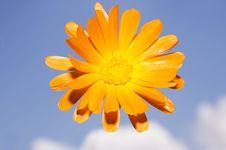 Free Calendula Officinalis Stock Photography - 13796632