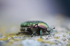 Free Rose Chafer (Cetoniinae) Stock Photos - 13796693