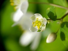 Free Snowdrop Anemone Royalty Free Stock Photos - 13796738