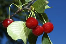 Free Cherries Royalty Free Stock Image - 13796746