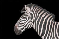 Free Zebra Portrait With Black Backdrop Royalty Free Stock Photos - 13796758