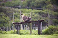 Free Baboon Eating Stock Image - 13797311