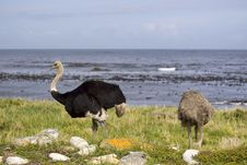 Two Ostrich Stock Photography