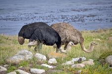 Free Two Ostrich Stock Photos - 13797313