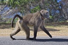 Free Walking Baboon Royalty Free Stock Image - 13797316