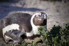 Resting Penguin Stock Image