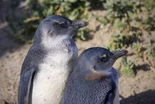Free Young Penguins Royalty Free Stock Photo - 13797335