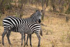 Free Nursing Baby Zebra Royalty Free Stock Images - 13797339