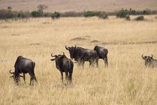 Free Group Of Wildebeest Stock Photos - 13797343