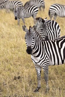 Free Group Of Zebras Royalty Free Stock Image - 13797346
