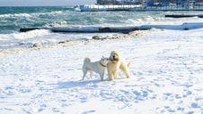 Free White Samoyed And Russian Sheep Dog Stock Image - 13798051