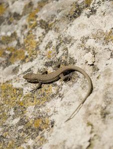 Free Lizard Stock Image - 13798301