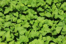 Free Nettle Stock Images - 13798424