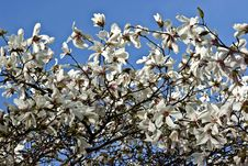 Free White Flowers Of Magnolia Royalty Free Stock Images - 13798849