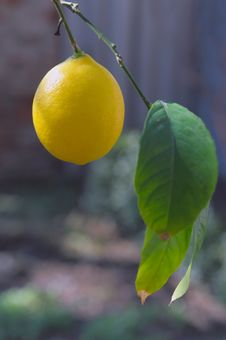 Free Lemon Royalty Free Stock Photos - 13798968