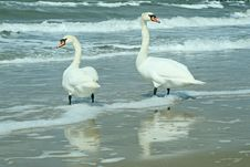 Free Swan On The Beach Royalty Free Stock Images - 13799299
