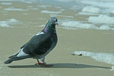 Free Pigeon On The Sand Stock Photos - 13799663
