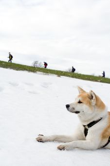 Free Akita Dog On Snow Looking At Hiking People Royalty Free Stock Photography - 13799707
