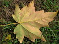 Free Glistening Maple Leaf Royalty Free Stock Photography - 1385667