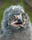 Free Cute Baby Owl Royalty Free Stock Image - 1385706