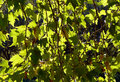 Free Tree Leaves Royalty Free Stock Image - 1386136