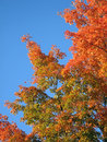 Free Orange Leaves Blue Sky Stock Photography - 1386692