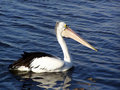 Free Pelican Royalty Free Stock Image - 1387696