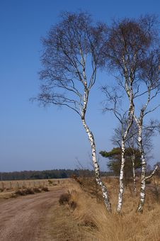 Free Birchtrees On A Dutch Moor Stock Images - 1380424