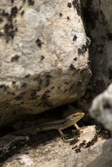 Free Lizard Under Stone Royalty Free Stock Image - 1380636