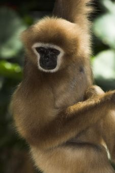Free White-handed Gibbon Stock Photography - 1381142