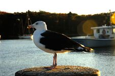 Free Gull Close Up Royalty Free Stock Photo - 1381255