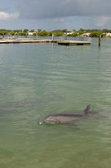 Bottlenose Dolphin 1 Stock Image