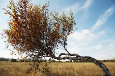 Free Autumn Birch On The Grassland Royalty Free Stock Photos - 1382248