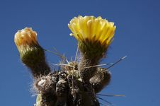 Free Cactus Flowers Stock Photography - 1382272