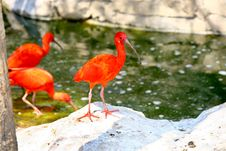 Free Red Birds Stock Image - 1382461