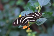 Free Butterfly Royalty Free Stock Images - 1383409