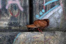 City Pigeon Stock Image