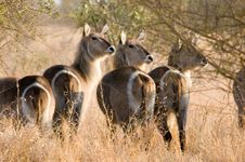 Free Waterbuck Stock Images - 1384184
