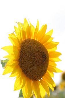 Free Sunflowers Stock Photography - 1384872