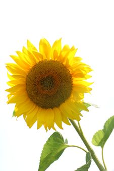 Free Sunflowers Stock Images - 1384964