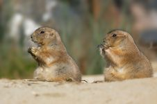 Free Prairie Dog Stock Image - 1385631