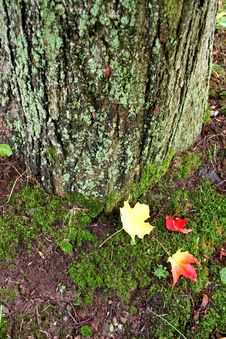 Free Maple Leaf Royalty Free Stock Photo - 1385955